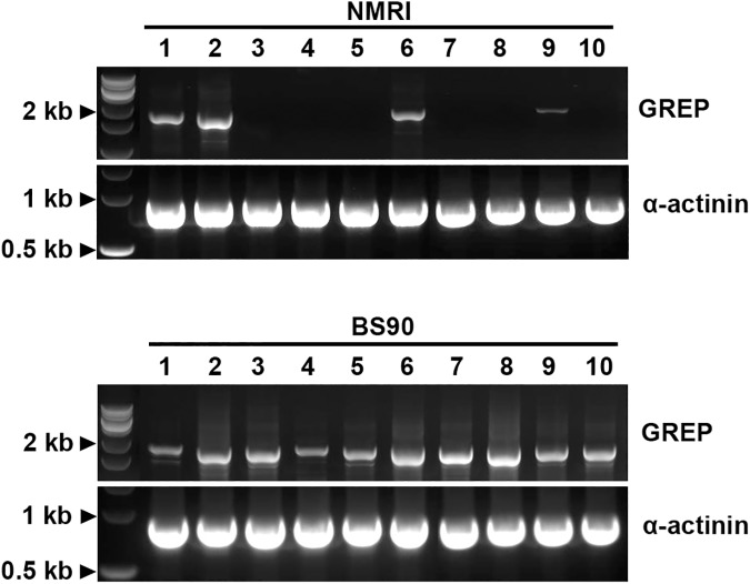 PCR amplification of NMRI and BS-90 B . glabrata galectin-related protein (GREP) transcripts. Complementary DNA synthesized from whole body RNA extracts of 10 individual NMRI and 10 BS-90 B . glabrata snails were used to generate amplification products of the near-complete coding region of the BS-90 GREP sequence. GREP amplicons for each snail sample (1–10) are shown. Primers to B . glabrata α-actinin served as a loading control. Note that GREP amplicons were generated using cDNA from all BS-90 samples tested, while only 4/10 NMRI snails produced amplicons, demonstrating differential GREP gene expression in the NMRI snail population.