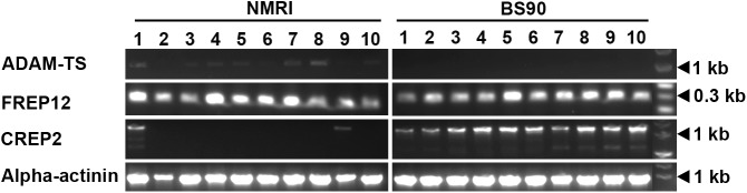PCR amplification of NMRI and BS-90 B . glabrata ADAM-TS, FREP12, and CREP2 transcripts. Whole body total RNA from 10 individual NMRI and 10 BS-90 B . glabrata snails were subjected to cDNA synthesis and used in PCR analysis of the ADAM-TS metalloproteinase, FREP12 and CREP2 transcript expression. Amplicons of the predicted size are shown for each snail sample (1–10). Primers to B . glabrata α-actinin served as a loading control.