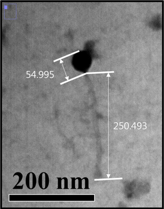 Transmission electron microphotograph of the phage LMP1 targeting Listeria monocytogenes .