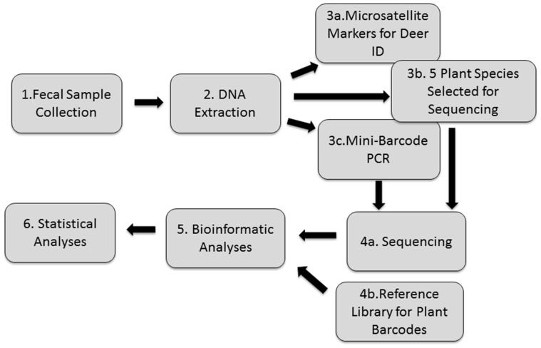 Flow chart of procedures for collecting, extracting and quantifying <t>DNA</t> used to identify deer forage species and deer identification for 12 samples. (1) Samples were collected within a 1 km 2 at Smithsonian's Conservation Biology in Front Royal, VA in October 2014. (2) The DNA extraction was conducted using <t>Zymo</t> Fecal DNA Mini-prep Kit. (3a) Known microsatellite markers were used verify each of the 12 samples were from separate individuals. (3b) In parallel to the PCR based mini-barcode approach, WGS data was generated and analysed using five whole chloroplast sequences in CLC Bio. (3c) PCR was conducted using primers designed for mini-Barcode rbc l region. (4a) Sequencing of amplicons was performed on an Illumina MiSeq V2. (4b) Voucher DNA Barcode samples from plant species collected in region were obtained from GenBank. (5) Data quality control was performed in CLC Bio Genomics Workbench (ver. 7.4) while bioinformatics analysis, where sequences were assigned taxonomic identity, were performed using Qiime. (6) Primary statistics contrasting animal diet included PERMANOVA and ANOSIM which utilized OTU tables from Qiime analysis.