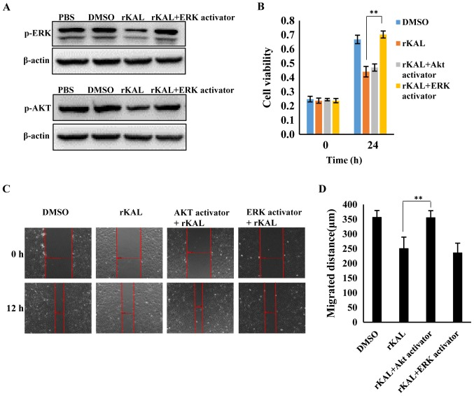 Inhibition of proliferation and migration were rescued by ERK and Akt activators respectively. (A) Following incubation with rKAL and the ERK activator ceramide C6 (10 µ M) or the Akt activator SC79 (1 µ g/ml) for 24 h, hLECs cells were harvested for immunoblotting analysis to detect phosphorylation levels of ERK and Akt. (B) Inhibition of hLEC proliferation was rescued by treatment with an ERK activator. (C) Inhibition of hLECs migration was rescued by the Akt activator. (D) Histogram representing the migrated distance of hLECs. * P