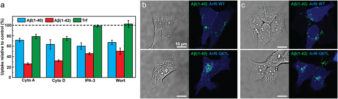 Uptake of Aβ(1–40), Aβ(1–42) and Trf in SH-SY5Y cells under conditions that perturb actin dependent endocytosis, macropinocytosis and Arf6-dependent endocytosis. ( a ) Uptake of HF488-labelled Aβ(1–40), Aβ(1–42) and AF647-labelled Trf in cells treated with 10 µM cytochalasin A (cyto A) and 25 µg/ml cytochalasin D (cyto D) to perturb actin polymerisation, or 10 µM IPA-3 and 25 nM wortmannin (wort) to perturb macropinocytosis. The peptide uptake is reported as mean cellular uptake relative to control (cells not treated with inhibitor) calculated based on mean cellular fluorescence intensity ± SD of the total number of gated live cells for three replicate samples (n = 3) measured by flow cytometry and corrected for baseline contributions by subtracting the cellular autofluorescence. ( b , c ) Images showing uptake of HF488-labelled Aβ(1–40) ( b ) and Aβ(1–42) ( c ) (green) in cells transfected with BFP-labelled Arf6 WT or Q67L (blue) alongside transmitted images showing the cells. The cells were incubated with Aβ 24 h post transfection. The Aβ concentration was 1 μM and the concentration of Trf was 5 µg/ml in all experiments. Cells were incubated with Aβ for 1 h (flow cytometry) or 24 h (confocal microscopy), and Trf for 5 min.