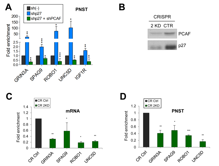 Effect of knocking down both, p27 and PCAF on the expression of target genes. ( A ) HCT116 cells were infected with a specific shRNA for p27 alone, or with shRNAs for p27 and PCAF or with a control shRNA (sh(–)). Then, the levels of primary non spliced transcripts (PNST) were determined by qPCR. ( B ). Cells were Knocked down for p27 and PCAF (double knockout) (2KD) using the CRISPR/Cas9 methodology. Then, the levels of PCAF and p27 were determined by WB. Levels of mRNA ( C ) or of primary non spliced transcripts (PNST) ( D ) from different common target genes were determined in double knock down cells (CR 2KD) and in control cells (CR Ctrl) by qPCR. In all experiments results are the mean value ± SEM of four independent experiments and are represented as fold enrichment versus control. Statistical analyses were performed using the t -student's test. * P