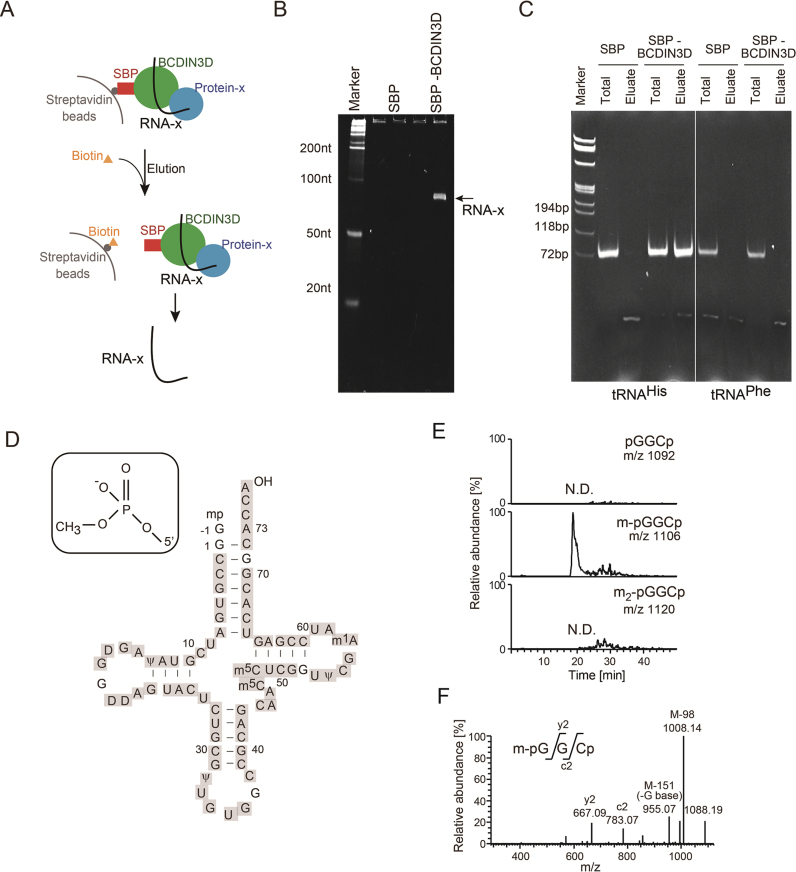Cytoplasmic tRNA His  binds to BCDIN3D or its associated protein(s) and has 5΄-monomethylmonophosphate. ( A ) Schematic presentation of the isolation of RNAs interacting with BCDIN3D. ( B ) Electrophoretic analysis of the RNA fraction co-purified with SBP-BCDIN3D (SBP-BCDIN3D, right lane), and control SBP (SBP, left lane) from cell extracts. The arrow indicates RNA-x specifically bound to BCDIN3D or its associated protein(s). ( C ) RT-PCR of RNAs interacting with BCDIN3D. Total RNAs from SBP-BCDIN3D- or SBP-expressing cells or RNAs co-purified with SBP-BCDIN3D or SBP were subjected to RT-PCR, using tRNA His - (left) or tRNA Phe - (right) specific primers. ( D ) Nucleotide sequence of human cytoplasmic tRNA His  (  23 ). LC/MS analysis of RNase T1-digested fragments of RNA-x identified cytoplasmic tRNA His  (  Supplementary Figure S1A–C ). The fragments cover the sequences of cytoplasmic tRNA His  (grey-shaded). ( E ) LC/MS analysis of RNase A-digested fragments of RNA-x. Identification of the molecular mass corresponding to 5΄pmG -1 -G 1 -C 2  p (pmG: guanosine 5΄-monomethyl monophosphate;  m/z  1,106) of cytoplasmic tRNA His  (  Supplementary Figure S1D ). ( F ) Collision-induced dissociation (CID) spectrum of the RNA fragment of 5΄pmG -1 -G 1 -C 2  p in (E), showing that a methyl-group is attached to the 5΄-monophosphate of tRNA His .