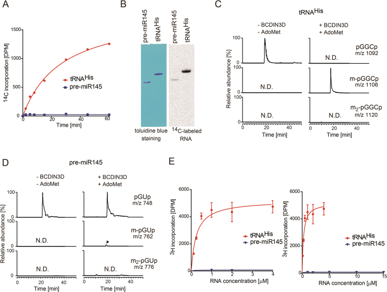 Monomethylation of 5΄-monophosphate of tRNA His  by BCDIN3D  in vitro . ( A )  In vitro  methylation of tRNA His  and pre-miR145 transcripts. Time courses of methyl-group transfer from AdoMet to tRNA His  and pre-miR145 transcripts under standard conditions (2 μM RNA substrate and 0.1 μM recombinant BCDIN3D). ( B )  In vitro  methylation of tRNA His  and pre-miR145 with a higher concentration of BCDIN3D (1 μM) at 37°C for 2 h. After the reaction, the RNA was separated by 10% (v/v) polyacrylamide gel electrophoresis under denaturing conditions. The gel was stained with toluidine blue (left), dried and exposed to a BASS2000 imaging plate (Fujifilm, Japan) for 12 hours (right). Mass spectrometric analysis of the RNase A-digested products of BCDIN3D-treated. ( C ) tRNA His  and ( D ) pre-miR145. ( E ) The steady state kinetics of methylation of tRNA His  and pre-miR145. Reaction mixtures containing various concentrations of tRNA His  (0.125–4 μM; left) and pre-miR145 (1–15 μM; right) were incubated at 37°C for 10 min. The bars in the graphs are SD of more than two independent experiments.