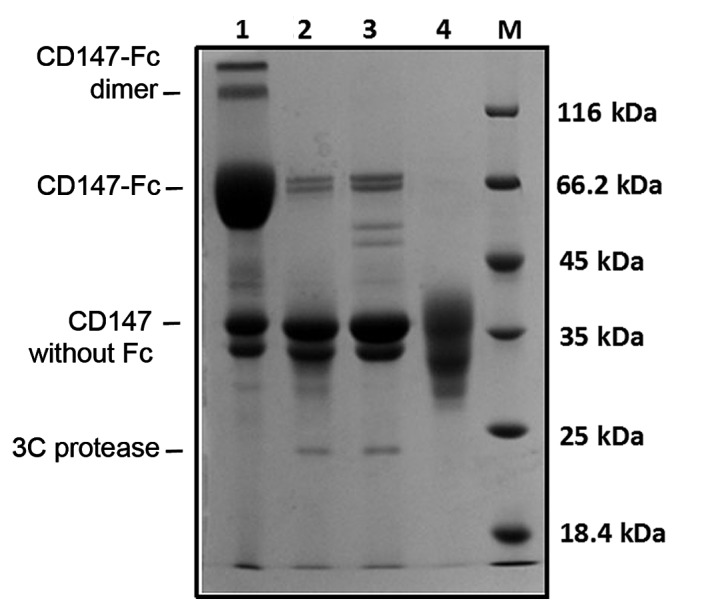SDS-PAGE analysis of the CD147 antigen prior to rabbit immunization. Eukaryotic-expressed recombinant protein CD147-Fc was treated with HRV 3C protease for 16 h, and the mixture was purified by Ni 2+ affinity chromatography followed by Protein A chromatography. SDS-PAGE analysis demonstrated that CD147 was of high purity and indicated that there was no residual Fc fragment or 3C protease. Lane 1, recombinant eukaryotic-expressed CD147-Fc, which has a dimer formation and has been partially degraded; Lane 2, the recombinant CD147-Fc protein was treated with HRV 3C protease for 16 h, resulting in a mixture of CD147-Fc, CD147, Fc fragments and HRV 3C protease; Lane 3, mixture purified by Ni 2+ affinity chromatography, which is not very powerful, and a certain amount of recombinant protein and HRV 3C protease remain; Lane 4, CD147 immunogen purified by Protein A chromatography, no recombinant protein or HRV 3C protease was detected; Lane M, protein molecular weight marker. HRV, human rhinovirus.