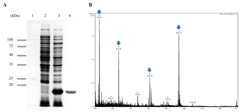 Purification and identification of recombinant PPI protein. (A) SDS-PAGE analysis of PETppi transformed E.coli BL21 (DE3) and purified recombinant PPI. Lane 1, protein marker; lane 2, crude extract of pETppi transformed E. coli BL21 (DE3) prior to induction; lane 3, crude extract of pETppi transformed E. coli BL21 (DE3) after induction with 1 mM IPTG for 4 h; lane 4, purified recombinant PPI protein. (B) ESI-Q-TOF MS of purified recombinant PPI protein. The partial sequences of 4 peaks from the recombinant PPI were identified by MS/MS (Arrow).