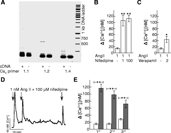 Ca V 1.2 inhibition up-regulates physiological AT 1 R signaling. a Gel image shows a typical RT-PCR of HEK mRNA using primers for Ca V 1.1(left), Ca V 1.2 (center) and Ca V 1.4 (right). As a negative control, each reaction was done omitting the cDNA. Expected band size is, for Ca V 1.1564 bp, Ca V 1.2621 bp and Ca V 1.4501 bp. Gene Ruler 1 kb DNA ladder was used as a size marker. b Quantification of peak [Ca 2+ ] i response to 1 nM AngII exposure alone or in presence of 1 μM or 100 μM nifedipine in Fura Red loaded HEK cells. n = 4 - 6 experiments. **: p ≤ 0.01 compared to 1 nM AngII exposure alone. c Quantification of peak [Ca 2+ ] i response to 1 nM AngII exposure alone or in presence of 2 μM verapamil in Fura Red loaded HEK cells. n = 10 experiments. *: p ≤ 0.05 compared to 1 nM AngII exposure alone. d Representative [Ca 2+ ] i traces from Fura Red loaded HEK cells treated with repeated 1 nM AngII for two minutes at times indicated by the arrows in the presence of 100 μM nifedipine. e Quantification of peak [Ca 2+ ] i response to repeated 1 nM AngII treatment as shown in D. Peaks are calculated as peak signal above baseline. Open bars show 1 nM AngII alone and grey bars show 1 nM AngII in presence of 100 μM nifedipine. n = 4 - 6 experiments. **: p ≤ 0.01 compared to vehicle