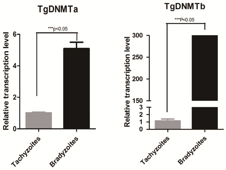 Detection of Tgdnmta and Tgdnmtb transcription in tachyzoites and bradyzoites. Each qPCR reaction were performed in triplicate, and the detection were repeated for three times. Relative transcription levels of Tgdnmta and Tgdnmtb genes were normalized to the transcription level of housekeeping gene GAPDH and were calculated using the 2 -ΔΔCt method. The differences of Tgdnmt transcriptional levels between tachyzoites and bradyzoites were analyzed with an independent t-test in SPSS13.0 software (Chicago, IL, USA). The transcription levels of both Tgdnmta and Tgdnmtb in bradyzoites were significantly higher than those in tachyzoites, and especially for Tgdnmtb , the relative transcriptional level in bradyzoites was approximately 300 fold higher than that of the transcription level found in tachyzoites. Error bars: SEM.