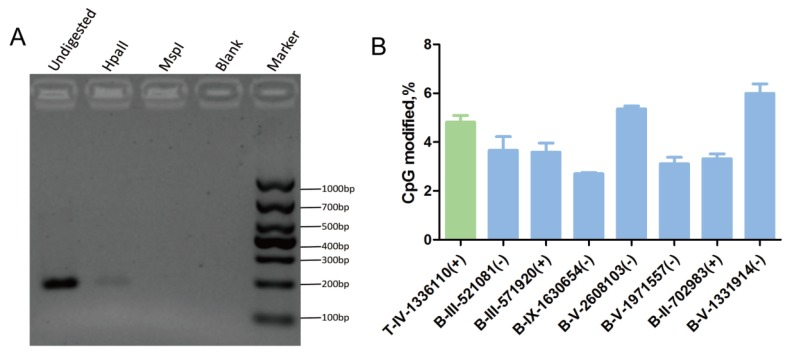 Verification of the cytosine methylation sites in the T. gondii genome using enzymes ( HpaII/MspI ) coupled with PCR. Hpa II and Msp I were used to digest gDNA followed by PCR or qPCR. A: At the T-IV-1336110+ site, where partial methylation was presented in tachyzoites, the methylation-sensitive enzyme Hpa II did not fully cut the gDNA at this site, and PCR product appeared; however, methylation-insensitive enzyme Msp I cut the gDNA at this site thoroughly, and no PCR products were obtained. B: qPCR validation was conducted after the gDNA was digested by Hpa II and Msp I, respectively. All results were obtained from three repetitive experiments with three replicates. T -tachyzoites, B -bradyzoites. Error bars: SEM.