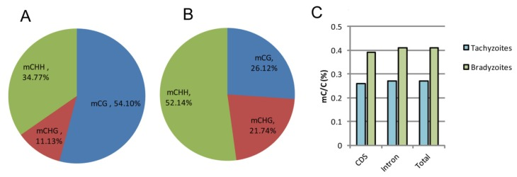 Comparison of global DNA methylation in tachyzoite and bradyzoite genomes . A-B: Methylation context distribution of m 5 C in tachyzoites and bradyzoites; H represents any nucleotide A, T, and C. C: comparison of the proportion of methylated cytosines within the compartment of the genes.