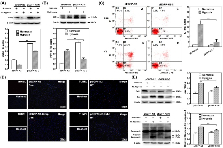 CIRBP over-expression suppressed HIF-1α up-regulation in hypoxia and inhibited hypoxia-induced neuron apoptosis. Western blot analysis of CIRBP expression levels (A) and HIF-1α (B) in SH-SY5Y cells transfected with mock vector (pEGFP-N2) or pEGFP-N2-CIRBP (pEGFP-N2-C) cultured in normoxia or 1% hypoxia for 48 h. ** depicts the significant increase of CIRBP and decrease of HIF-1α transfected with pEGFP-N2-C in hypoxia group compared with control group. (C) Flow cytometry shows apoptosis of SH-SY5Y cells transfected with mock vector (pEGFP-N2) or pEGFP-N2-CIRBP (pEGFP-N2-C) cells by Annexin V and PI staining in control or hypoxia group for 48 hours. Bar graphs demonstrating extent of apoptotic cells, ** depicts the significant decrease of ratio of apoptotic cells in cells transfected with pEGFP-N2-CIRBP in hypoxia group compared with cells in control group. (D) TUNEL apoptosis detection of SH-SY5Y neuron-like cells transfected with pEGFP-N2 or pEGFP-N2-CIRBP cultured under normoxia or hypoxia for 48 hours. Decrease TUNEL-positive cells were observed in cells transfected with pEGFP-N2-CIRBP in hypoxia group compared with control groups. Bars = 100 μm. (E) Western blot analysis of caspase-3, cleaved caspase-3, Bcl-2, Bax and β-actin in SH-SY5Y neuron-like cells transfected with pEGFP-N2 or pEGFP-N2-CIRBP in control group or hypoxia. Graphs show relative ratio of cleaved caspase-3/caspase-3 and Bax/Bcl-2. Notice the significant decrease in cleaved caspase-3 and Bax/Bcl-2 ratio in cells transfected with pEGFP-N2-CIRBP in the hypoxia groups compared with the control group, respectively. ** (p