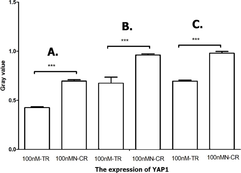 Overexpressed hsa-miR-138-2-3p inhibited Hippo/YAP1 pathway. The vertical and horizontal axis stand for Gary value and treaments, respectively. It suggested that the expression of YAP1 between 100nM-TR and 100nMN-CR of Hep-2 (A), M2e (B) and TU212 (C) CSCs were significant difference (*** P