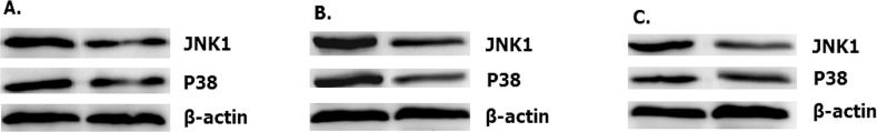 Overexpressed hsa-miR-138-2-3p up-regulated expression of JNK1 and p38. The expression of JNK1 and p38 in 100nM-TR of Hep-2 (A), M2e (B) and TU212 (C) CSCs were improved more than that in 100nMN-CR.