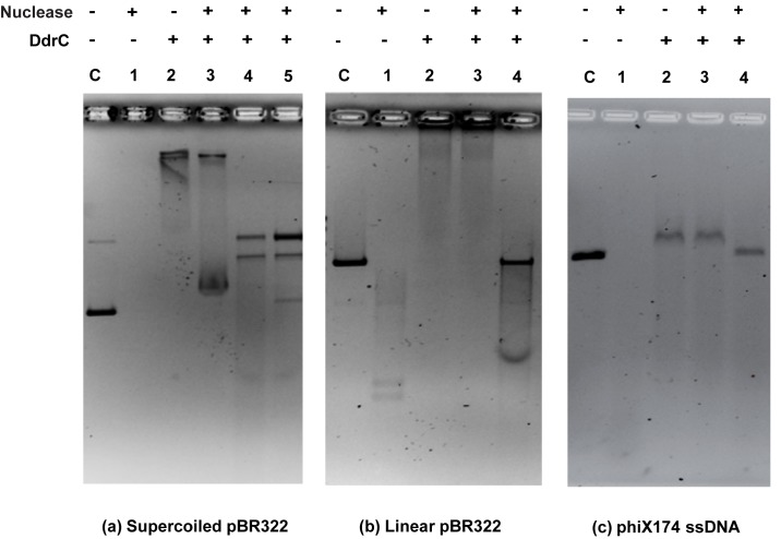 DdrC protects DNA against degradation by nucleases. Protection of supercoiled pBR322 plasmid (3.5 nM) from DNase I activity (0.1 U) (panel a), linear pBR322 (3.5 nM) from Exonuclease III activity (200 U) (panel b) and phiX174 ssDNA (5.9 nM) from Mung Bean Nuclease activity (1 U) (panel c) by 7 μM, 7 μM, and 2 μM DdrC, respectively. Lanes C: DNA controls without protein. Lanes 1: DNA incubation with nuclease alone. Lanes 2: DNA incubation with DdrC alone. Lanes 3: DNA pre-incubated with DdrC 15 min at 4°C before addition of nuclease. Lanes 4: Reaction products corresponding to lane 3 were further treated with Proteinase K/SDS. Panel a, lane 5: DdrC and DNase I were simultaneously incubated with supercoiled DNA before treatment with Proteinase K/SDS.