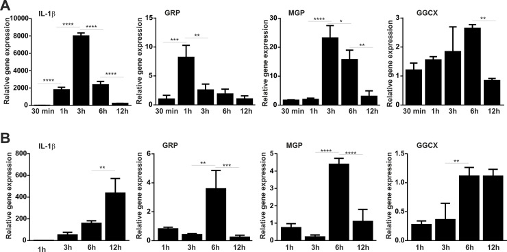 GRP and MGP are up-regulated in LPS stimulated THP-1 cells. THP-1 and differentiated THP-1 macrophage cells were stimulated with 100 ng/ml of LPS and harvested for RNA extraction at determined time points during 12h. Relative gene expression analysis of the inflammatory marker IL-1β, GRP, MGP and GGCX was determined by qPCR in monocytes (THP-1 cells) (A) and in differentiated THP-1 macrophages (B) at indicated time points. Gene expression levels are relative to the expression of control untreated cells during each time point. GAPDH was used as housekeeping gene and data is presented as means (n = 4) ± standard error of duplicates of two independent experiments. Ordinary one-way ANOVA was used and multiple comparisons were achieved with Tukey's test. Statistical significance was defined as P