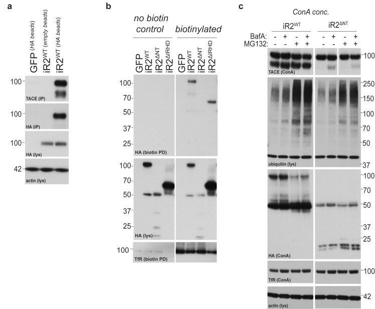 iRhom2 interaction with TACE, and further characterisation of the deletion mutants of iRhom2. ( a ) HA immunoprecipitates (IP) and lysates (lys) from DKO MEFs transduced with GFP or HA-tagged iRhom2 WT , immunoblotted for HA, TACE and beta-actin. Empty beads (without conjugated HA antibody) are used to show the specificity of the co-immunoprecipitation. ( b ) Lysates (lys) and neutravidin-enriched preparations (biotin PD) from MEFs transduced with GFP, or HA-tagged iRhom2 WT , iRhom2 ∆NT and iRhom2 ∆IRHD labelled with biotin and probed with HA and transferrin receptor antibodies. ( c ) Lysates from DKO MEFs expressing HA-tagged iRhom2 WT and iRhom2 ∆NT enriched for glycoproteins with ConA were immunoblotted for TACE, HA, and transferrin receptor (TfR) as a labelling control. Where indicated, cells had been treated with the lysosomal degradation inhibitor bafilomycin A1 (Baf A, 100 nM) or the proteosomal degradation inhibitor MG132 (10 µM) for 4 hr. Lysates were probed for beta-actin, and immunoblotted for ubiquitin to demonstrate the efficacy of MG132 treatment. DOI: http://dx.doi.org/10.7554/eLife.23968.010