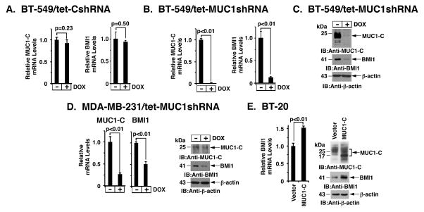 Silencing MUC1-C downregulates BMI1 expression A–C. BT-549 cells were stably transduced to express a tetracycline-inducible control shRNA (tet-CshRNA) (A) or a MUC1 shRNA (tet-MUC1shRNA) (B). Cells treated with 200 ng/ml DOX for 4 d were analyzed for MUC1 and BMI1 mRNA levels by qRT-PCR. The results (mean±SD) are expressed as relative mRNA levels compared to that obtained for control DOX-untreated cells (assigned a value of 1). Cell lysates treated with 200 ng/ml DOX for 7 d were immunoblotted with the indicated antibodies (C). D. MDA-MB-231/tet-MUC1shRNA cells treated with 200 ng/ml DOX for 4 d were analyzed for MUC1 and BMI1 mRNA levels by qRT-PCR (left). Cell lysates treated with 200 ng/ml DOX for 7 d were immunoblotted with the indicated antibodies (right). E. BT-20 cells stably expressing a control or MUC1-C vector were analyzed for BMI1 mRNA levels by qRT-PCR. The results (mean±SD) are expressed as relative BMI1 mRNA levels compared to that obtained for vector cells (assigned a value of 1) (left). Lysates were immunoblotted with the indicated antibodies (right).