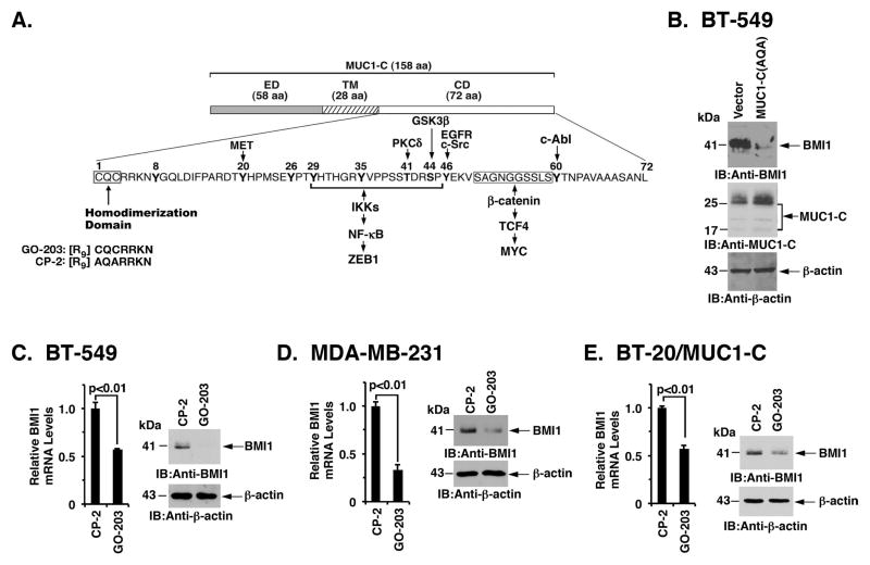 Targeting the MUC1-C cytoplasmic domain downregulates <t>BMI1</t> expression A. Schema of the MUC1-C subunit with the 58 aa extracellular domain (ED), the 28 aa transmembrane domain (TM), and the sequence of the 72 aa cytoplasmic domain (CD). The MUC1-C cytoplasmic domain contains a CQC motif that is necessary and sufficient for MUC1-C homodimerization and oncogenic function. GO-203 is a cell-penetrating peptide that binds the CQC motif and blocks MUC1-C homodimerization. Highlighted are MUC1-C-induced pathways that confer the activation of ZEB1 and MYC. B. BT-549 cells were transfected with a control or MUC1-C(AQA) vector in which the CQC motif had been mutated to AQA. Lysates were immunoblotted with the indicated antibodies. C–E. BT-549 (C), MDA-MB-231 (D), and BT-20/MUC1-C (E) cells treated with 5 μM CP-2 or 5 μM GO-203 for 12 h were analyzed for BMI1 mRNA levels by <t>qRT-PCR.</t> The results (mean±SD) are expressed as relative BMI1 mRNA levels compared to that obtained for CP-2 (assigned a value of 1) (left). Cell lysates treated with 5 μM CP-2 or 5 μM GO-203 for 48 h were immunoblotted with the indicated antibodies (right).
