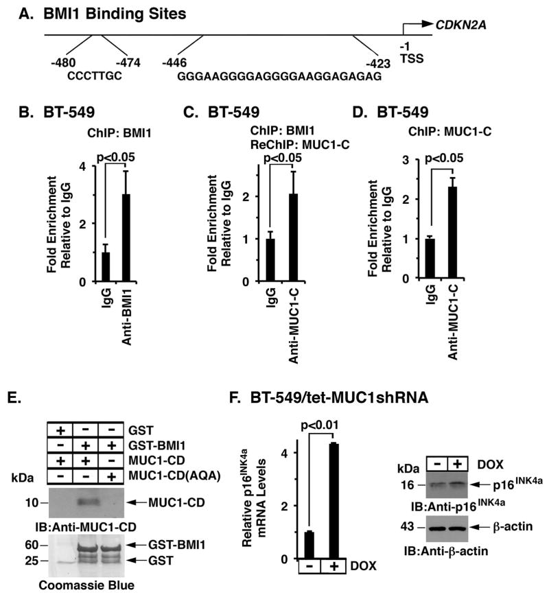 MUC1-C/BMI1 complexes occupy the CDKN2A promoter A. Schema of the CDKN2A promoter with positioning of the BMI1-response element (BRE) at −423 to −446 and −474 to −480 bp upstream to the transcription start site. B. Soluble chromatin from BT−549 cells was precipitated with anti-BMI1 or a control IgG. C. In the re-ChIP analysis, BMI1 precipitates were released and re-immunoprecipitated with anti-MUC1-C and a control IgG. D. Soluble chromatin from BT-549 cells was precipitated with anti-MUC1-C or a control IgG. The final DNA samples were amplified by qPCR with primers for the CDKN2A promoter. The results (mean±SD of three determinations) are expressed as the relative fold enrichment compared with that obtained with the IgG control (assigned a value of 1). E. GST and GST-BMI1 were incubated with either purified MUC1-CD or MUC1-CD(AQA). The adsorbates were immunoblotted with anti-MUC1-C. Input of the GST proteins was assessed by Coomassie blue staining. F. BT-549/tet-MUC1shRNA cells were treated with or without DOX for 7 d. p16 INK4a mRNA levels were determined by qRT-PCR. The results (mean±SD) are expressed as relative p16 INK4a mRNA levels compared to that obtained for control DOX-untreated cells (assigned a value of 1) (left). Cell lysates cultured with or without DOX for 12 d were immunoblotted with the indicated antibodies (right).