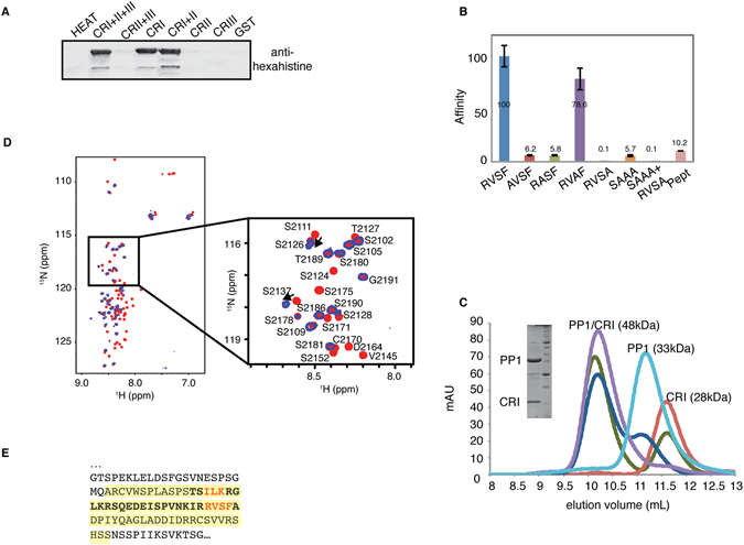The Rif1 CRI region contains two canonical RVSF and SILK motifs interacting with PP1. ( A ) Beads loaded with GST-Rif1 fragments were incubated with cell lysates containing hexahistidine-PP1. PP1 retained by means of interaction with Rif1 was eluted and analysed by imunoblotting using antibodies against the hexahistidine tag. ( B ) The affinity of Rif1 CRI mutants and peptide for PP1 was determined by the SPR and expressed as percentage of wild-type. SAAA indicates the mutation of the residues within the SILK motif. ( C ) Analysis of Rif1 CRI interaction with PP1 by size exclusion chromatography. PP1 (light blue), Rif1 CRI (red), PP1/CRI at molar ratio 1:1 (magenta), PP1/CRI at molar ratio 1:3 (green) and PP1/CRI at molar ratio 2:1 (blue) were subjected to analytical gel-filtration. The Coomassie-stained gel shows recombinant PP1 and Rif1 CRI co-eluting from the column. mAU = milli Absorbance Unit. ( D ) Superposition of the 1 H- 15 N HSQC spectra of 15 N-labeled CRI (red) and 15 N-labeled CRI in the presence of PP1 (blue). In the inset, assignments are shown for CRI for a selected region of the HSQC spectrum. ( E ) PP1-interacting region in mouse Rif1. Interacting residues identified by NMR analysis are highlighted in yellow, residues present in the synthetic peptide (Pept) are shown in bold, and residues subjected to mutagenesis are shown in red.