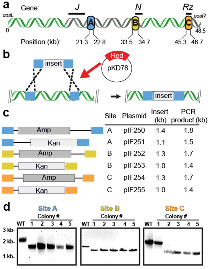 Recombineering at three unique positions within the λ-phage genome. ( a ) Insertion cassettes were designed for three sites targeting dispensable segments of the λ-phage genome (shown in gray). These cassettes are 21.3 kb, 33.5 kb and 45.3 kb away from cosL (designated A, B and C, respectively). ( b ) Schematic of the Red-based recombineering. An arabinose-inducible plasmid supplies the three Red genes. ( c ) Cassettes for efficient recombineering into each of the sites shown in ( a ). The cassettes carry an antibiotic resistance gene that is flanked on both sides by ~200 bp of homology to λ-DNA. ( d ) Recombineering efficiency was scored by colony PCR followed by agarose gels analysis. Successful recombineering generates a smaller PCR fragment. We observed 90–100% insertion efficiency at each of the three target sites.