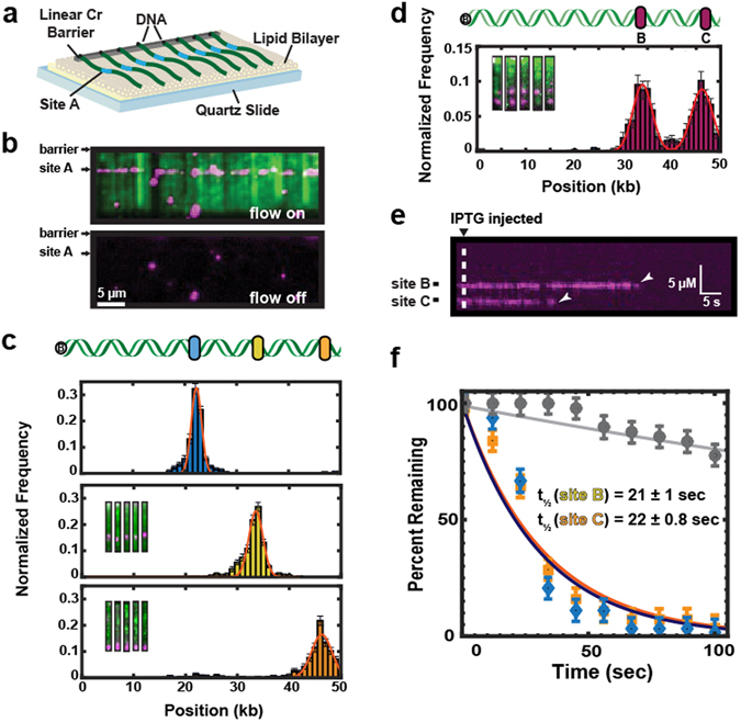 Single-molecule imaging of Lac repressor (LacI) dynamics on recombineered λ- DNA substrates. ( a ) Schematic of a single-tethered DNA curtain assay. DNA molecules (green) are immobilized on a fluid lipid bilayer and arranged at micro-fabricated Chromium (Cr) barriers. One of the insertion sites (site A) is indicated in blue. ( b ) TIRFM image of LacI (magenta) binding to a lac operator inserted at site A on a recombineered λ-DNA substrate (green). ( c ) Binding distributions of LacI to a lac operator sequence inserted at one of the three sites within λ-DNA. Solid lines indicate a Gaussian fit to the data with the indicated mean ± standard deviation. Blue: site A (21.7 ± 1.0 kb, N = 558, blue). Yellow: site B (34.0 ± 1.5 kb, mean N = 538). Orange: site C (46.0 ± 2.3 kb, N = 467). ( d ) Insertion of two lac operator cassettes within a single λ-DNA construct. Inset: single-molecule imaging of the recombinant DNA shows LacI at both positions B C. Binding histograms show nearly equal occupancy at both lac operator sites. Red line: double Gaussian fit (34.0 ± 2.0 kb and 46.2 ± 2.2 kb, respectively; N = 525). ( e ) As expected, LacI dissociates from both operator sites after injection of 0.4 mM Isopropyl β-D-1-thiogalactopyranoside (IPTG). ( f ) Quantification of the LacI lifetimes upon IPTG injection. The solid lines are single-exponential fits to the data (blue diamonds, t ½ = 21 ± 1.0 sec, N = 63, and orange squares, t ½ = 22 ± 0.8 sec, N = 56 at positions B C, respectfully). The solid gray line is the single-exponential fit of the LacI lifetime data, in the absence of IPTG (grey circles, t ½ = 327 ± 10 s, N = 49). The error bars indicate the standard deviation obtained via bootstrap analysis.