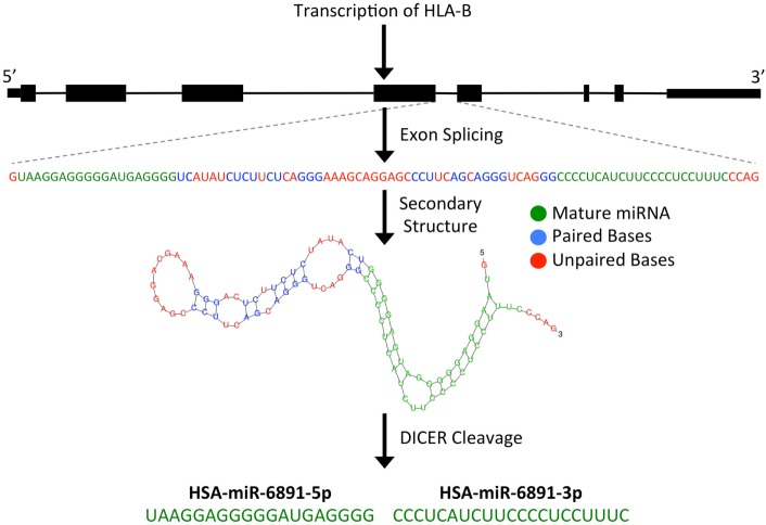 Predicted biogenesis of HSA-miR-6891 . miR-6891 is derived from intron 4 of HLA-B , which upon exon splicing of the HLA-B transcript forms a stable pre-miRNA hairpin structure. The pre-miRNA is then processed by the Dicer enzyme to form two mature miRNA products, HSA-miR-6891-5p and HSA-miR-6891-3p.