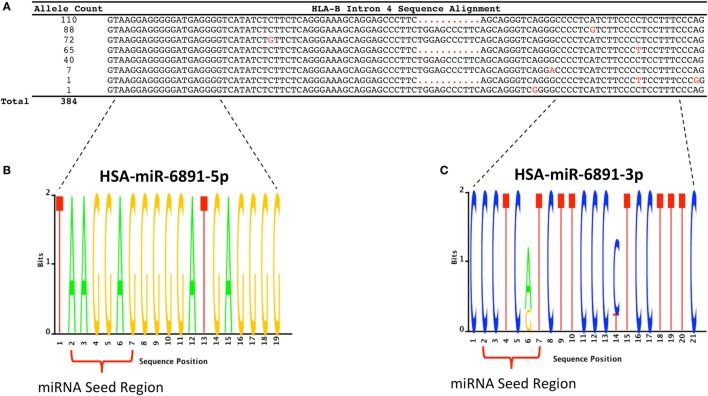HLA-B intron 4 sequence variability and miR-6891 isomiR characterization . (A) There are 384 annotated HLA-B alleles with full-length sequence annotation within the ImMunoGeneTics (IMGT) database (release 3.25), with each allele represented by one of eight unique intron 4 sequence motifs. The aligned sequence motifs are provided along with their allele frequency within IMGT and polymorphic positions (highlighted in red). (B) Sequence logo plot depicting the lack of polymorphism within HSA-miR-6891-5p. (C) Sequence logo plot depicting polymorphic sites within HSA-miR-6891-3p at positions 6 and 14 of the mature miRNA.