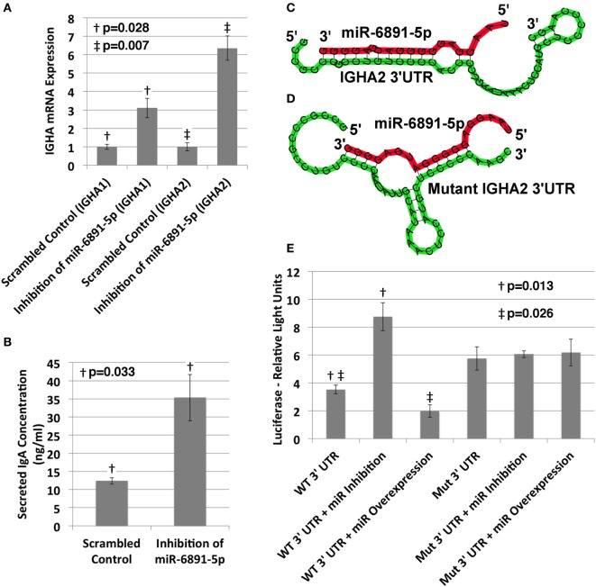 Validation of miR-6891-5p-mediated posttranscriptional regulation of immunoglobulin heavy chain alpha 1 and 2 ( IGHA1 and IGHA2 ) transcripts . (A) COX cells were transduced with lentiviral constructs expressing either the scrambled control or antisense sequence of miR-6891-5p. Cells were harvested after 48 h of transduction, total RNA was purified, and both IGHA1 and IGHA2 expression were analyzed by qPCR (ΔΔCt, standard error bars shown, n = 3). (B) COX cells (5 × 10 8 ) were transduced with lentiviral construct expressing either the scrambled control or antisense sequence of miR-6891-5p. After 120 h, media were collected and analyzed by ELISA using IgA antibody (standard error bars shown, n = 3). (C) Predicted binding site and heteroduplex formed between the wild-type (WT) 3′UTR of IGHA2 and miR-6891-5p. The heteroduplex formed with IGHA1 is identical to that shown. (D) Predicted binding site and heteroduplex formed between the mutated (Mut) 3′UTR sequence of IGHA2 and miR-6891-5p. (E) Either the wild-type (WT) or mutated (Mut) 3′UTR sequence of IGHA2 was cloned downstream of the luciferase reporter, creating two separate constructs. The wild-type or mutant luciferase constructs alone or together with either the miR-6891-5p expression construct (miR overexpression) or the antisense miR-6891-5p expression construct (miR inhibition) were transfected into HEK293T cells. Luciferase assay was performed 24 h after transfection (standard error bars shown, n = 3). All p -values shown are calculated using a t -test.