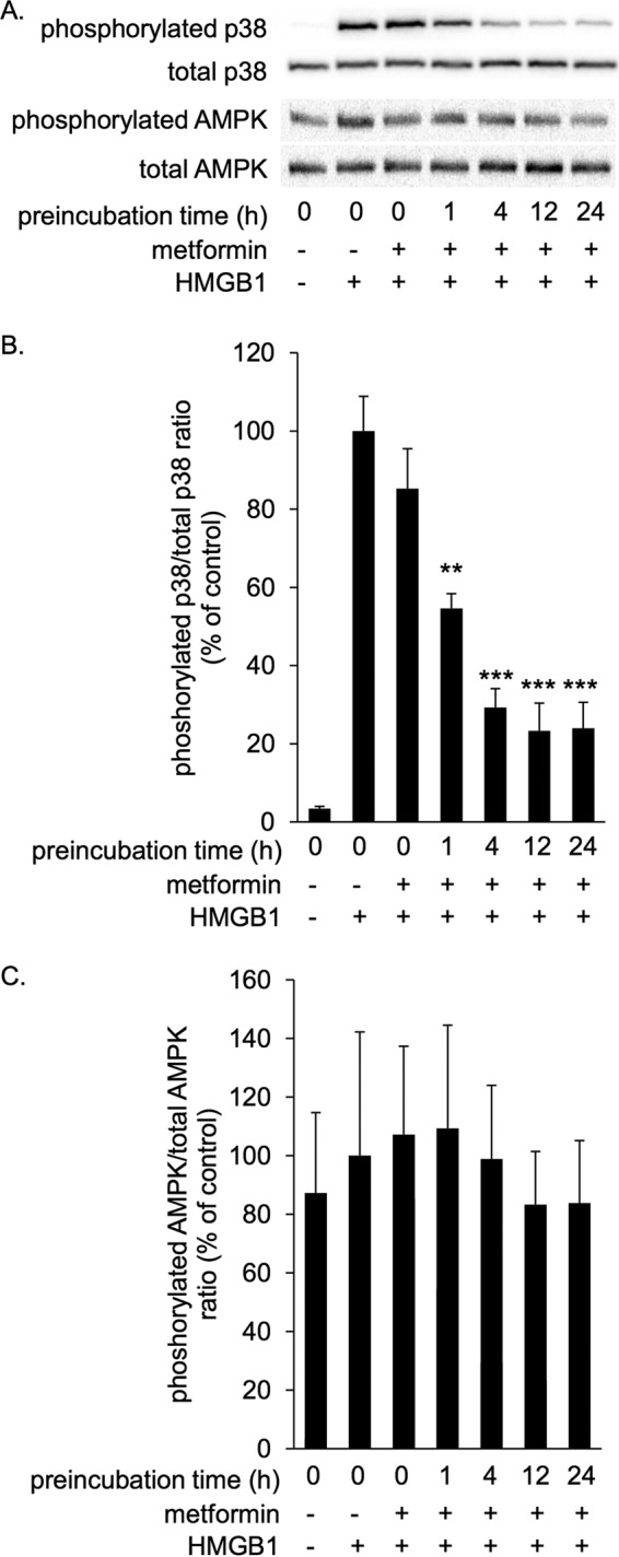 Metformin inhibited HMGB1-induced p38 phosphorylation in RAW264.7 cells in a preincubation time-dependent manner. RAW264.7 cells were stimulated with 1 μg/ml HMGB1 in the absence or presence of 10 m m metformin at 37 °C for 1 h. HMGB1 was preincubated with metformin at 4 °C for the indicated periods before the addition to cells. Cell lysates were subsequently analyzed by immunoblotting for phosphorylated and total p38 and phosphorylated and total AMPK. A , typical photos of immunoblots. Data shown are representative of four independent experiments with similar results. B and C , ratios of phosphorylated/total p38 ( B ) and phosphorylated/total AMPK ( C ) were calculated from densitometry analysis. B and C , results were analyzed as the percentage of control group (HMGB1 alone). Data are presented as the mean ± S.E. ( n = 4). **, p