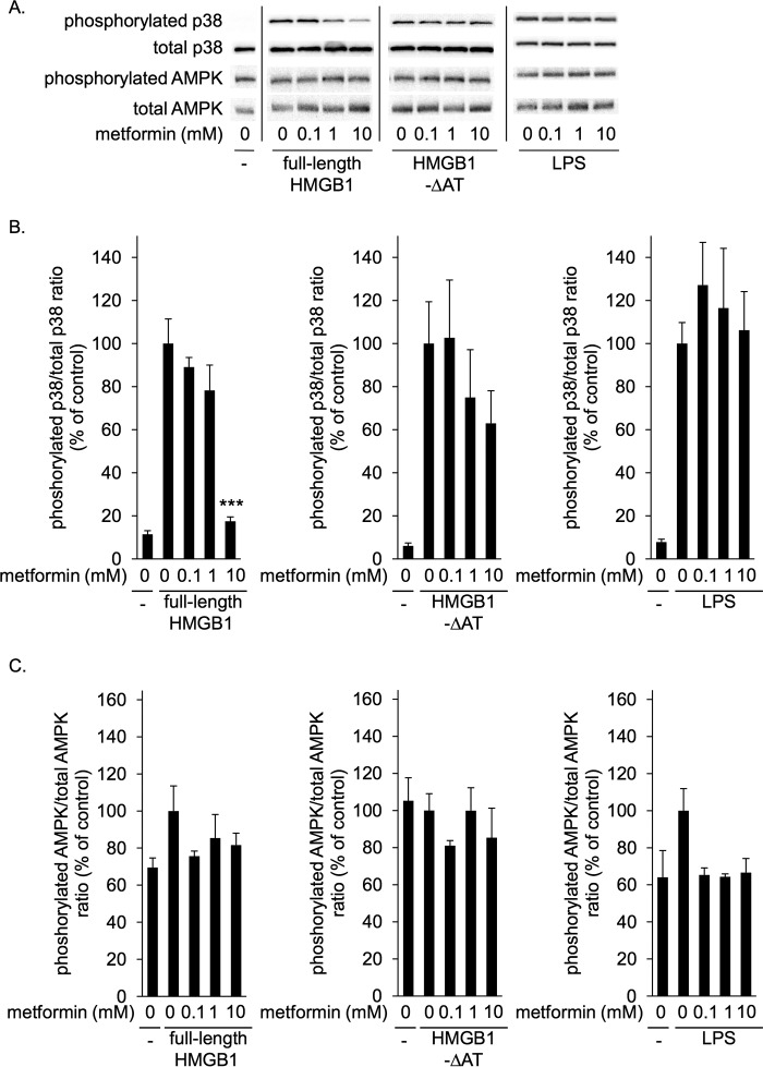 Metformin inhibited p38 phosphorylation induced by HMGB1 but not that induced by HMGB1-ΔAT in RAW264.7 cells. RAW264.7 cells were incubated with 1 μg/ml full-length HMGB1, HMGB1-ΔAT, or LPS in the absence or presence of indicated concentrations of metformin at 37 °C for 1 h. HMGB1 or LPS were preincubated without or with metformin at 4 °C for 24 h before the addition to cells. Cell lysates were then analyzed by immunoblotting for phosphorylated and total p38 and for phosphorylated and total AMPK. A , typical photos of immunoblotting. Data shown are representative of four independent experiments with similar results. B and C , ratios of phosphorylated/total p38 ( B ) and phosphorylated/total AMPK ( C ) were calculated from densitometry analysis. B and C , results were analyzed as the percentage of control group (HMGB1 alone in left panels , HMGB1-ΔAT alone in center panels, and LPS alone in left panels ). Data are presented as mean ± S.E. ( n = 4). ***; p