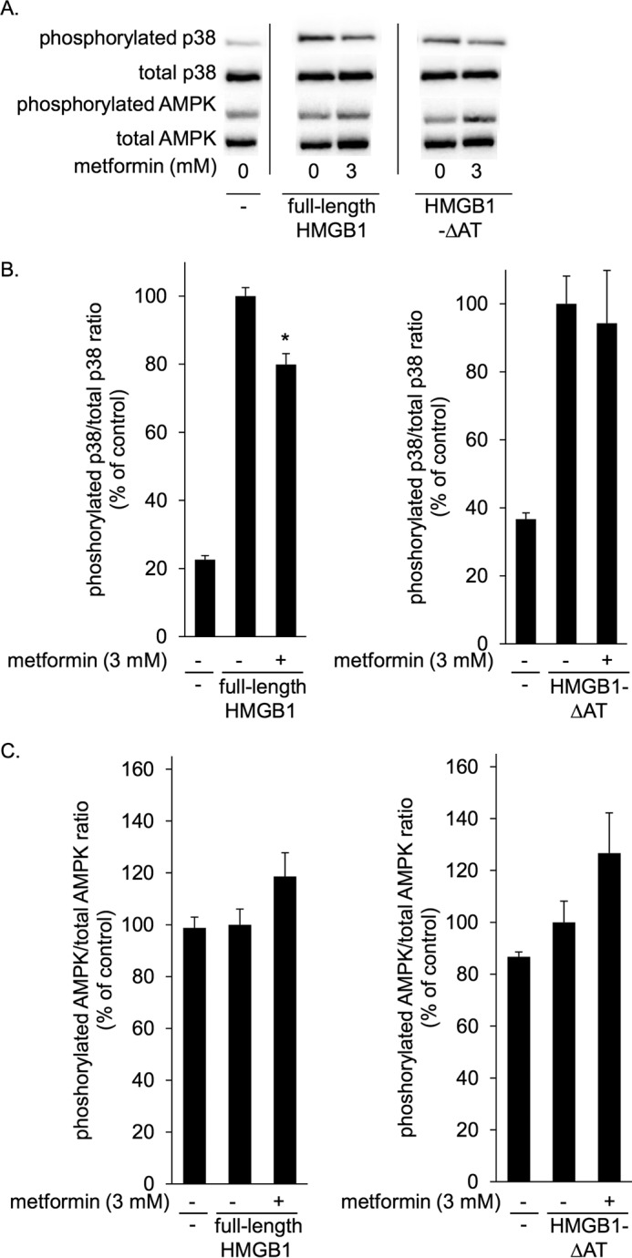 Metformin inhibited HMGB1-induced p38 phosphorylation in mouse peritoneal macrophages. Mouse peritoneal macrophages from Balb/c mice were incubated at 37 °C for 1 h with 1 μg/ml full-length HMGB1 or 1 μg/ml HMGB1-ΔAT in the absence or presence of 3 m m metformin. HMGB1 or HMGB1-ΔAT was preincubated without or with metformin at 4 °C for 24 h before the addition to cells. Cell lysates were then analyzed by immunoblotting for phosphorylated and total p38 and for phosphorylated and total AMPK. A , typical photos of immunoblots. Data shown are representative of four independent experiments with similar results. B and C , ratios of phosphorylated/total p38 ( B ) and phosphorylated/total AMPK ( C ) were calculated from densitometry analysis. B and C , results were analyzed as the percentage of control group (HMGB1 alone or HMGB1-ΔAT alone). Data are presented as mean ± S.E. ( n = 4). *, p