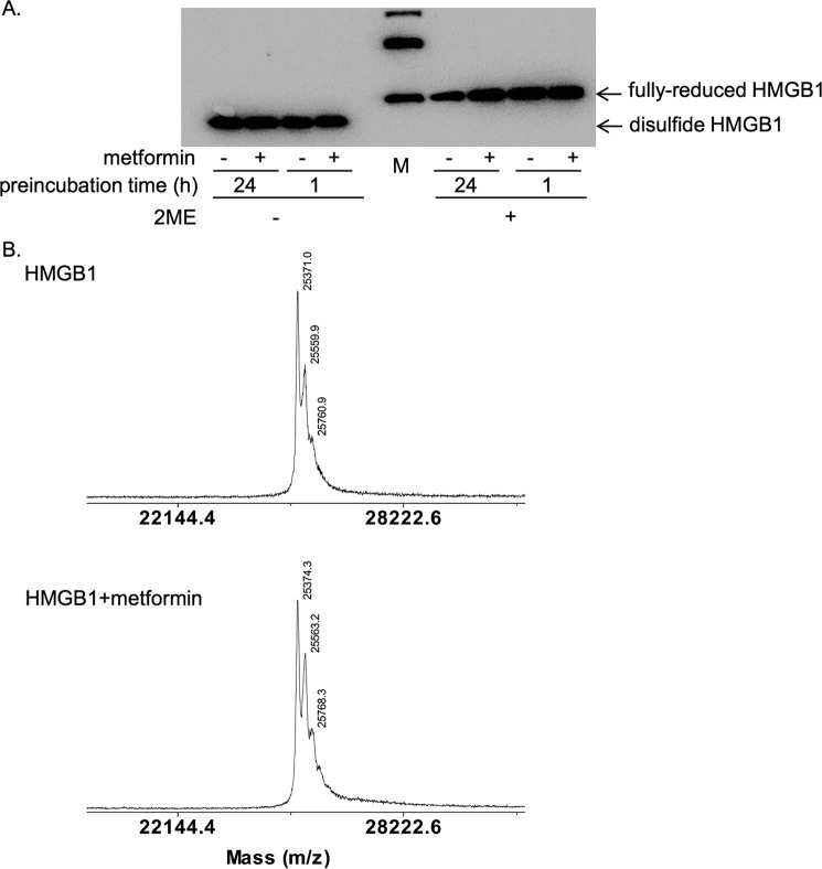 Metformin did not change the redox states or molecular weight of HMGB1. A , HMGB1 was incubated at 4 °C in the absence or presence of 100 m m metformin for the indicated time periods and analyzed by SDS-PAGE without or with β-mercaptoethanol ( 2-ME ) treatment at 95 °C for 5 min. HMGB1 was detected by immunoblotting with anti-HMGB1 antibody. It is noted that disulfide and fully-reduced HMGB1 can be separated by mobility in SDS-PAGE without 2-ME treatment. Bands in the marker ( M ) lane indicated 30, 40, and 50 kDa from the bottom. B , mass spectrometry analysis of HMGB1 incubated without ( upper diagram ) or with 100 m m metformin ( lower diagram ) at 4 °C for 24 h.