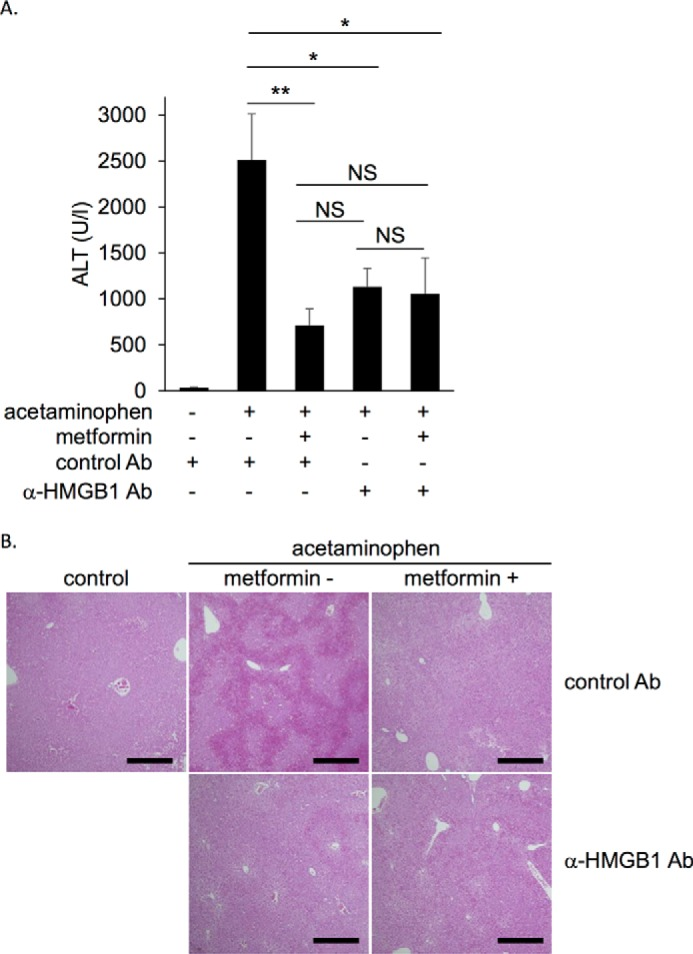 Metformin did not exhibit further inhibition when extracellular function of HMGB1 was blocked by anti-HMGB1-neutralizing antibody in the acetaminophen-induced liver injury model mice. Balb/c mice were intraperitoneally administered 400 mg/kg acetaminophen without or with 350 mg/kg metformin. Control antibody or anti-HMGB1 antibody at 5 mg/kg was simultaneously administered intravenously. A , serum ALT levels were measured 5 h after acetaminophen administration. Data are presented as the mean ± S.E. ( n = 6–8). *, p