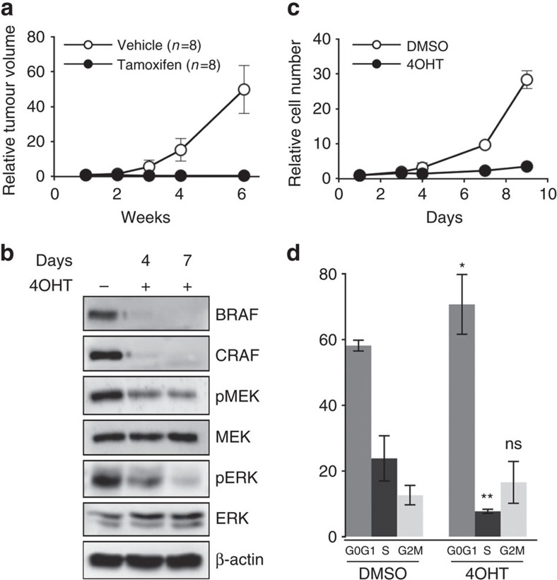 RAF signalling is required for cell proliferation and tumour growth in NRAS Q61K -induced murine melanoma. ( a ) A melanoma from an untreated Braf f/f ;Craf f/f ;Tyr::NRAS Q61K / o ;Ink4a +/− ;Tyr::CreERT2 / o mouse was cut into small pieces and subcutaneously grafted into two groups of nude mice that were treated either with tamoxifen or vehicle for 2 weeks. The effect on tumour growth was assessed by measuring tumour volume over a 6-week period. Tumour volumes are plotted relative to the initial volume at the start of treatment. This experiment is representative of three independent experiments requiring 48 Swiss Nu/Nu females (6-week-old) for one primary tumour from a 1-year-old female on a SV129/C57Bl6 mixed genetic background. ( b ) Western blot analysis of BRAF and CRAF protein levels and MEK and ERK activation levels (pMEK and pERK, respectively) in protein lysates from culture in c on days 4 and 7 of 4OHT treatment compared to DMSO-treated culture. Total MEK, total ERK and β-actin are shown as a loading control. ( c ) Growth curve analysis of melanoma cell culture established from an untreated Braf f/f ; Craf f/f ;Tyr::NRAS Q61K / o ;Ink4a +/− ;Tyr::CreERT2 / o primary mouse tumour in response to 4OHT or DMSO for 9 days. Cell number is plotted relative to the initial number of cells at the start of treatment. Data are representative of three independent experiments. ( d ) Cell cycle analysis by FACS from culture in c on day 6 of 4OHT treatment compared to DMSO-treated culture. Data are the mean value of three independent experiments. * P value