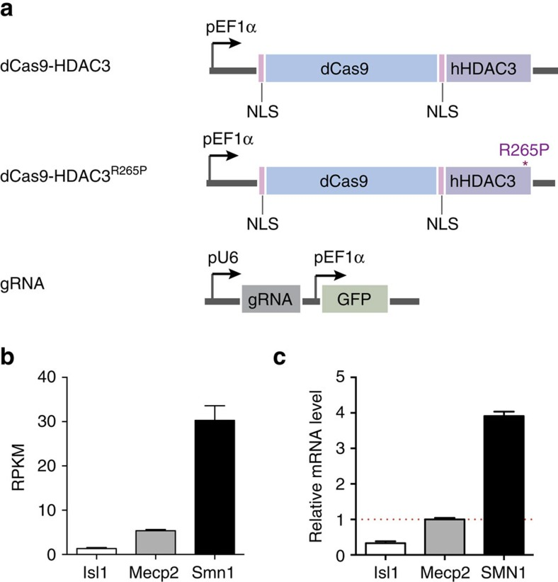 Design of Cas9-based HDAC system. ( a ) Schematic of dCas9 fusion constructs, dCas9-HDAC3 and dCas9-HDAC3 R265P , and gRNA construct. ( b ) RPKM values for Isl1, Mecp2 and Smn1 in murine N2a cells as determined by RNA-seq ( n =2 biological replicates; error bars, s.e.m.). ( c ) Isl1, Mecp2 and Smn1 expression, relative to Mecp2 (red dashed line) in N2a cells ( n =3 biological replicates; error bars, s.e.m.).