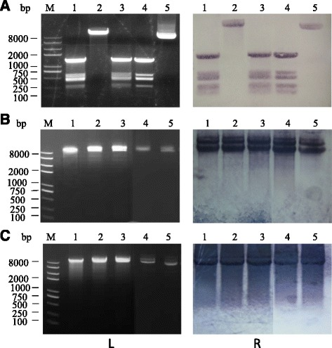 The effect of Bsph_0498 (encoding LspC3–41I) on the restriction role of L. sphaericus C3–41 CFE. Untreated and pre-treated plasmid pBU4 was incubated with CFE and then subjected to restriction assays, and the reaction mixture was analyzed by agarose gel electrophoresis as show in the left three pictures (L) and Southern blot analysis as show in the right three pictures (R). a untreated pBU4. Lane 1, C3–41; lane 2, Δ0498; lane 3, RC0498; lane 4, Hae III digested; lane 5, Untreated. b pBU4 methylated with C3–41 CFE. Lane 1, C3–41; lane 2, Δ0498; lane 3, RC0498; lane 4, Hae III digested; lane 5, Untreated. c pBU4 methylated with MTase M. Hae III. Lane 1, C3–41; lane 2, Δ0498; lane 3, RC0498; lane 4, Hae III digested; lane 5, Untreated. M: DNA marker