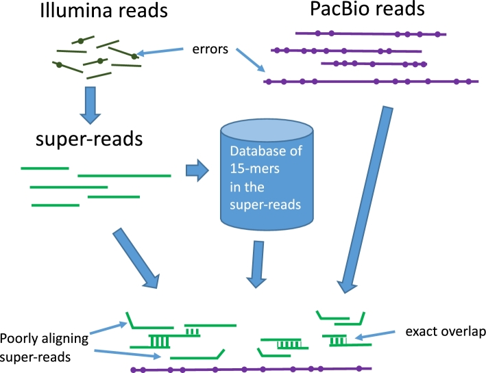Construction of super-reads and <t>mega-reads</t> from Illumina reads. Illumina reads (top left) were used to build longer super-reads (green lines), which in turn were used to construct a database of all 15-mers in those reads. For P. taeda , each super-read replaced an average of ∼150 Illumina reads; Table 1 ) [ 5 ]. <t>PacBio</t> reads (purple lines) and super-reads were then aligned using the 15-mer database. Inconsistent super-reads are shown as kinked lines; these were discarded and the remaining super-reads were merged, using the PacBio reads as templates, to produce mega-reads. The sequence of the mega-reads was thus derived entirely from the low-error-rate super-reads, not from the raw PacBio reads (figure modified from Zimin et al. [ 7 ]).