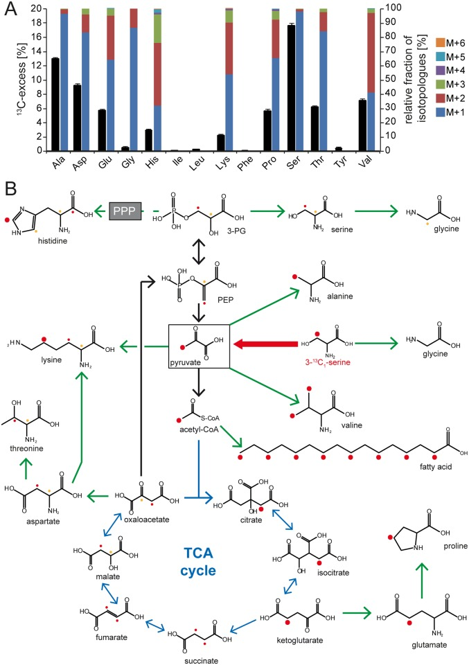 Biosynthetic capacities of C . jejuni 81–176 upon catabolism of [3- 13 C 1 ]Ser. The intermediary metabolism of C . jejuni 81–176 was investigated through isotopologue profiling with 13 C-labelled Ser. (A) Overall 13 C-excess and relative fractions of 13 C-labeled isotopologues in protein-derived amino acids gained by acidic hydrolysis of C . jejuni 81–176 cells after cultivation in Dulbecco's Modified Eagle Medium (DMEM) with [3- 13 C 1 ]Ser as determined by gas-chromatography/mass-spectrometry (GC/MS) analysis. The colored boxes indicate the relative contributions (%) of isotopologues with 1, 2, 3, 4, 5, and 6 13 C-atoms indicated as M+1, M+2, M+3, M+4, M+5, and M+6, respectively. Values are the means ± standard deviation (SD) of 6 measurements (see S11 Table ). (B) Overview of the anabolism in C . jejuni 81–176 fueled by the catabolism of [3- 13 C 1 ]Ser. The dots illustrate the 13 C-carbon flux from [3- 13 C 1 ]Ser within the indicated molecules. Because of stereoisometry, the positioning of the 13 C-atoms within succinate and fumarate is indistinguishable; thus, the resulting possibilities of the 13 C-positions are indicated in red and orange as a 50% labeling probability for each. Green arrows display the biosynthetic pathways confirmed through isotopologue profiling. Acetyl-CoA, acetyl coenzyme A; Ala, alanine; Asp, asparagine; Glu, glutamic acid; Gly, glycine; His, histidine; Ile, isoleucine; Leu, leucine; Lys, lysine; Phe, phenylalanine; PEP, phosphoenolpyruvic acid; PPP, pentose phosphate pathway; Pro, proline; Ser, serine; TCA, tricarboxylic acid; Thr, threonine; Tyr, tyrosine; Val, valine.