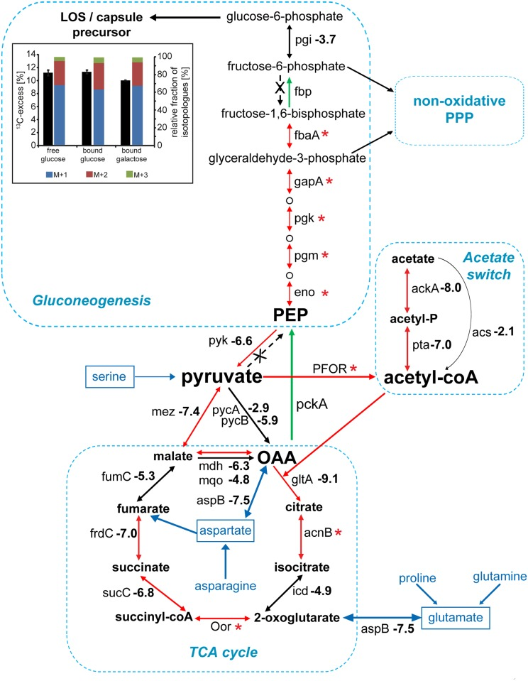 """Impact of central carbon metabolism during C . jejuni intestinal colonization. The log 2 (fold change [intestine/inoculum]) in the number of transposon insertions within C . jejuni genes encoding enzymes in the tricarboxylic acid (TCA) cycle, gluconeogenesis, and the acetate switch pathways are shown and are derived from the raw data in S3 Table . Values below −6.2 indicate mutations that led to a statistically significant colonization defect. *: denotes genes showing a limited number of insertions within the library and no insertions within the pooled of mutants recovered from the intestine. The red arrows denote that the number of insertions within the gene involved in the indicated reaction was significantly reduced within the pool of mutants recovered from the mouse intestine (relative to the inoculum). Green arrows indicate that the enzyme that catalyzes the corresponding reaction does not have an insertional mutant in our mutant library. Enzymes not encoded in the C . jejuni genome are indicated with an """"X."""" The inset depicts the overall 13 C-excess and relative fractions of 13 C-labeled isotopologues in free and bound glucose or galactose (as indicated) derived from C . jejuni 81–176 cell surface carbohydrates after cultivation in Dulbecco's Modified Eagle Medium (DMEM) with [3- 13 C 1 ]Ser. The colored boxes indicate the relative contributions (%] of isotopologues with 1, 2, and 3 13 C-atoms indicated as M+1, M+2, and M+3, respectively. Numbers are the means ± standard deviation (SD) of 6 measurements (see S11 Table ). Acetyl-CoA, acetyl coenzyme A; LOS, lipooligosaccharide; OAA, oxaloacetate; PEP, phosphoenolpyruvic acid; PPP, pentose phosphate pathway."""