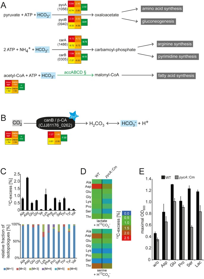 The contribution of CO 2 metabolism to C . jejuni intestinal colonization. Illustrated are metabolic reactions in C . jejuni that utilize bicarbonate (H 2 CO 3 - ) (A) and the carbonic anhydrase CanB-catalyzed reaction that generates bicarbonate from CO 2 (B). Numbers indicate the log2 (fold change [intestine/inoculum]) in the number of insertions in the indicated genes and are derived from the raw data in S3 Table . Values below −6.2 indicate mutations that led to a statistically significant colonization defect. Green arrows indicate mutations that led to a statistically significant colonization defect. (C) Incorporation of CO 2 into amino acids after C . jejuni 81–176 cultivation in Dulbecco's Modified Eagle Medium (DMEM) supplemented with H 13 CO 3 - . Shown are the overall 13 C-excess (%) (upper panel) and relative fractions of 13 C-labeled isotopologues (lower panel) in protein-derived amino acids of C . jejuni 81–176 cultivated in DMEM supplemented with 44 mM 13 C-labeled hydrogen carbonate. The colored boxes indicate the relative contributions (%) of isotopologues with 1, 2, 3, 4, 5, and 6 13 C-atoms (M+1, M+2, M+3, M+4, M+5, and M+6). Numbers are the means ± standard deviation (SD) of 6 measurements (see S11 Table ). (D) Heat map for the overall 13 C-excess of labeled amino acids in C . jejuni 81–176 wild-type and the respective pycA :: Cm mutant strain after growth with [ 13 C]bicarbonate and 20 mM lactate (upper panel) or 20 mM Ser (lower panel) as carbon and energy sources. The values of the color map depict the mean of 2 biological experiments measured in triplicate (see S11 Table ). (E) Growth analysis of the C . jejuni 81–176 pycA mutant (grey column) compared to the wild type (black column) when cultivated in DMEM supplemented with 20 mM of different carbon and energy sources. Values represent the mean values ± SD of 3 independent experiments (see S12 Table ). Ala, alanine; Asp, asparagine; Glu, glutamic acid; Gly, glycine; Ile, isoleucine; Lac, lacta