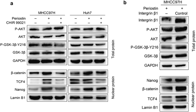 POSTN promoted the stemness of heat-exposed residual HCC cells via integrin <t>β1/AKT/GSK-3β/β-catenin/TCF4/Nanog</t> signaling pathway. Western blots were performed. ( a ) POSTN upregulated the phosphorylation level of AKT and GSK-3β, and the expression of nuclear β-catenin, TCF4 and Nanog in heat-exposed residual MHCC97H and Huh7 cells. The levels of GSK-3β phosphorylation, β-catenin, TCF4 and Nanog expression were reduced by the administration of GSK-3β inhibitor CHIR 99021. ( b ) Integrin β1 knockdown attenuated POSTN-induced levels of AKT and GSK-3β phosphorylation, β-catenin, TCF4 and Nanog expression in heat-exposed residual MHCC97H cells.