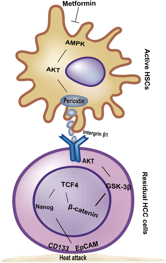 Graphical diagram of the proposed mechanism by which activated HSCs induced the stemness traits in heat-exposed residual HCC cells. POSTN from activated HSCs initiates integrin β1/GSK-3β/β-catenin/TCF4 pathway to modulate stemness traits of heat-exposed residual HCC, which was reversed by metformin via the AMPK/AKT pathway to decrease POSTN secretion.