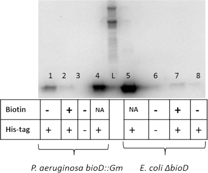 Western blot analyses of freestanding and operon-encoded BioH production. Equal volumes of the freestanding and operon-encoded protein eluates were loaded into each lane of an <t>SDS-polyacrylamide</t> gel. After electrophoresis the proteins were transferred to <t>Immobilon-P</t> and the membranes were subjected to immunoblotting with anti-His 6 tag antibody. Lane 1, the P. aeruginosa bioD::Gm strain expressing chromosomal His 6 -tagged BioH under limited biotin conditions (1.6 nM); Lane 2, the P. aeruginosa bioD::Gm strain expressing chromosomal His 6 -tagged operon-encoded BioH under excess biotin conditions (40 μM); Lane 3, negative control, P. aeruginosa bioD::Gm strain expressing operon-encoded native BioH lacking a His 6 tag under limited biotin conditions (1.6 nM); Lane 4, positive control, purified P. aeruginosa BioH protein with a C-terminal His 6 -tag; L, ladder; Lane 5, positive control, purified E. coli BioH protein with a C-terminal His 6 -tag; Lane 6, negative control, the E. coli ∆bioD strain expressing the native freestanding chromosomal BioH lacking a His 6 tag under limited biotin conditions (1.6 nM); Lane 7, the E. coli ∆bioD strain expressing a chromosomal His 6 -tagged bioH under excess biotin (40 μM) conditions and Lane 8, the E. coli ∆bioD expressing the chromosomal His 6 -tagged BioH under limited biotin conditions (1.6 nM).