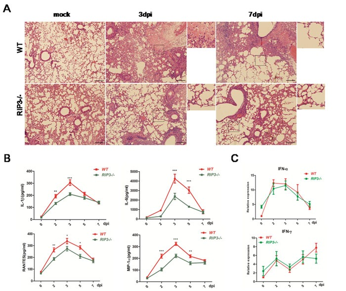 Pulmonary inflammation is alleviative following H7N9 virus infection in RIP3−/− mice A . H E sections through bronchioles showing edema, infiltration with inflammatory cells, and alveolar collapses. Images shown are representative of 6 mice per genotype per time point collected from three independent experiments. Scale bar indicates 100μm. B . IL-1β, IL-6, RANTES and MIP-1 secreted in BALF were detected by using ELISA. C . IFN-α and IFN-γ expression of lung tissues were measured by qPCR. Data collected from three independent experiments was shown as mean±SEM. (* p
