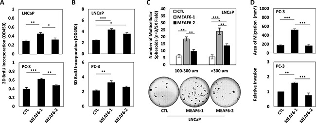 MEAF6-1 promotes prostate cancer cell growth and invasion Using LNCaP or PC-3 cell lines stably expressing control (CTL), MEAF6-1, or MEAF6-2, ( A ) 2D BrdU cell proliferation assays were performed to measure proliferation of cells. BrdU results represent colorimetric quantitative measurements (optical density, OD, at 450 nm wavelength) of cellular BrdU incorporation into DNA. ( B ) Cells were also seeded in matrigel for BrdU proliferation assays to measure the proliferative ability under 3D conditions. ( C ) Soft agar assays were performed on LNCaP cells in a 6-well plate. Colonies were stained with crystal violet and counted by varied sizes (i.e. 100–300 um or > 300 um). Images of wells were captured by Zeiss light microscope, representing one of the three independent biological replicates. ( D ) PC-3 stable cells were seeded in 6-well plates and incubated for 16 hours for wound healing assays. Area of migration measured using Zen imaging software. Cell invasion ability of PC-3 cell lines was measured using matrigel invasion chambers. All results are presented as the mean ± SEM (one-way ANOVA; n = 3; ***denotes p