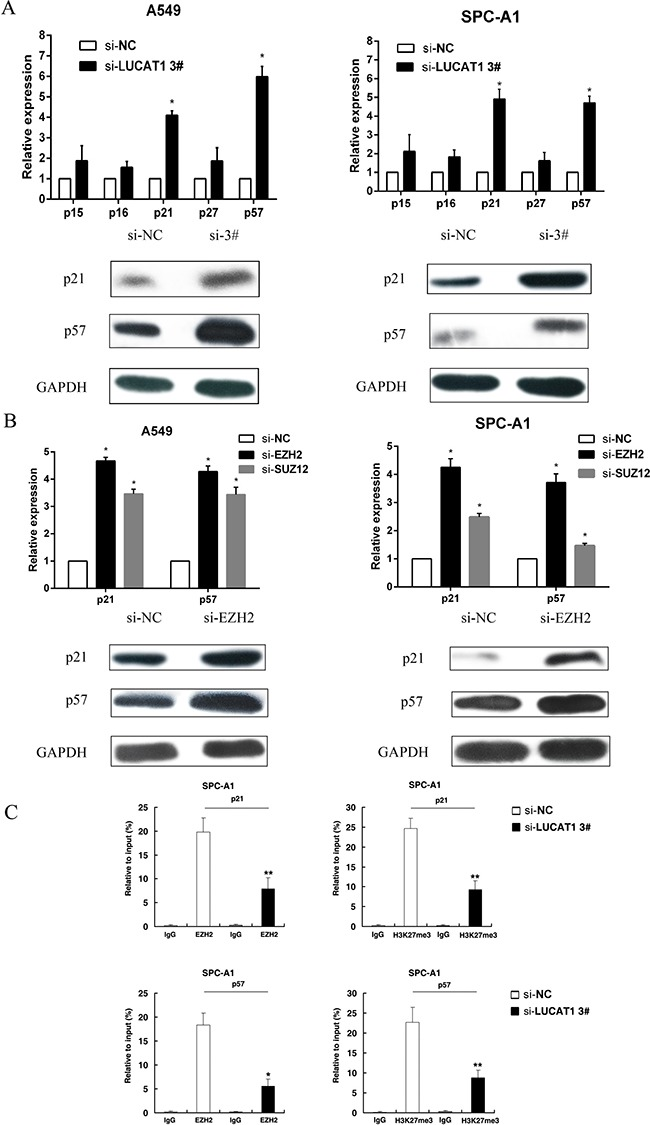 LUCAT1 is required to target EZH2 occupancy and activity to epigenetically regulate the expression of CKIs ( A ) After si-LUCAT1 3# transfection, the expression of p15, p16, p21, p27, and p57 were determined by qPCR and western blot assays in A549 and SPC-A1 cells. ( B ) After si-EZH2 or si-SUZ12 transfection, the expression of p21 and p57 were detected by qPCR in A549 and SPC-A1 cells. And western blot assay was performed to detect the protein level of p21 and p57 after si-EZH2 transfection. ( C ) ChIP-qPCR of H3K27me3 and EZH2 of the promoter region of the p21 and p57 locus after siRNA treatment targeting si-NC or si-LUCAT1 3# in SPC-A1 cells. Antibody enrichment was quantified relative to input controls. Antibody directed against IgG was used as a negative control. Error bars indicate means ± S.E.M. * P