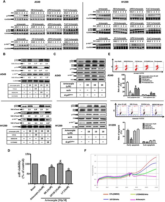 ROS-dependent MAPKs activation is involved in artocarpin-induced apoptosis in A549 and H1299 cells Cells were treated with 10 μM artocarpin for different periods of time, followed by Western blot analysis using antibodies against phospho-p38 MAPK, phospho-ERK1/2 or phospho-Akt. ( A ) Western blot analysis showing the effects of 10 μM SB202190 (p38 inhibitor), 10 μM U0126 (ERK1/2 inhibitor), 10 μM LY294002 (PI3K inhibitor), APO (100 μM) or NAC (100 μM) on the phosphorylation of p38 MAPK, ERK1/2 or Akt in artocarpin-treated A549 and H1299 cells. The blots were probed for GAPDH as a loading control. ( B ) Cross talk between MAPKs and Akt phosphorylation in artocarpin-treated A549 and H1299 cells. Cells were pretreated with 10 μM SB202190, 10 μM U0126 or 10 μM LY294002 for 1hr and then treated with 10 μM artocarpin for 4 hr. ( C ) Relationship between MAPKs, Akt and p47 phox in artocarpin-treated A549 and H1299 cells. Cells were transfected with either scrambled siRNA or p47 phox siRNA and then treated with 10 μM artocarpin for 4 hr. ( D , E ) Cells were pretreated with10 μM SB202190, 10 μM U0126 or 10 μM LY294002 for 1 h, and then treated with 10 μM artocarpin for 24h. Cytotoxicity was determined using MTT assay and stained with Annexin-V and PI as previously described in Figure 1 . Data shown are means ± SEM. * P