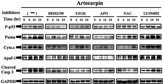 Artocarpin up-regulated the expression of p53-dependent apoptotic proteins via p38 MAPK and ERK1/2 pathway, but not by Akt pathway A549 cells were treated with 10 μM artocarpin for various periods of time, followed by Western blot analysis using antibodies against phospho-p53, PUMA, Cytochrome C, Apaf-1and caspase-3. Western blot analysis also demonstrating the effects of 10 μM SB202190, 10 μM U0126, 10 μM LY294002, APO (100 μM) or NAC (100 μM) treatment on the up-regulation of phospho-p53, PUMA, Cytochrome C, Apaf-1and caspase-3 in artocarpin-treated A549 cells. The blots were probed for GAPDH as a loading control. Each blot is representative of three independent experiments, all of which had similar results.
